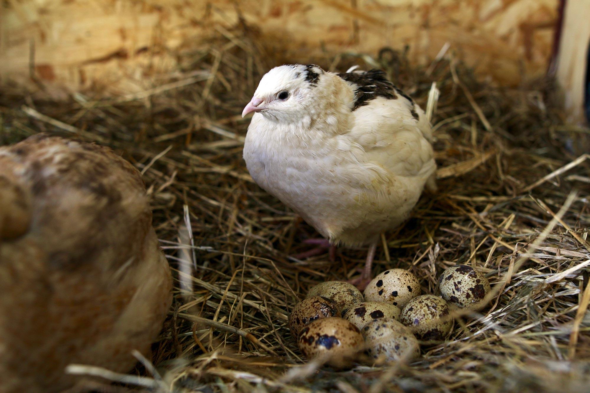 vaktelhöna med ägg